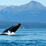 Whale Breaching, Point Adolphus, Glacier Bay, Alaska