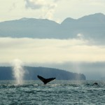 Whales, Point Adolphus, Glacier Bay, Alaska